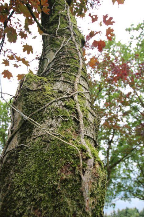 Uriger Baum mit Moos und Pfahlwurzeln auf Schloss Möhler